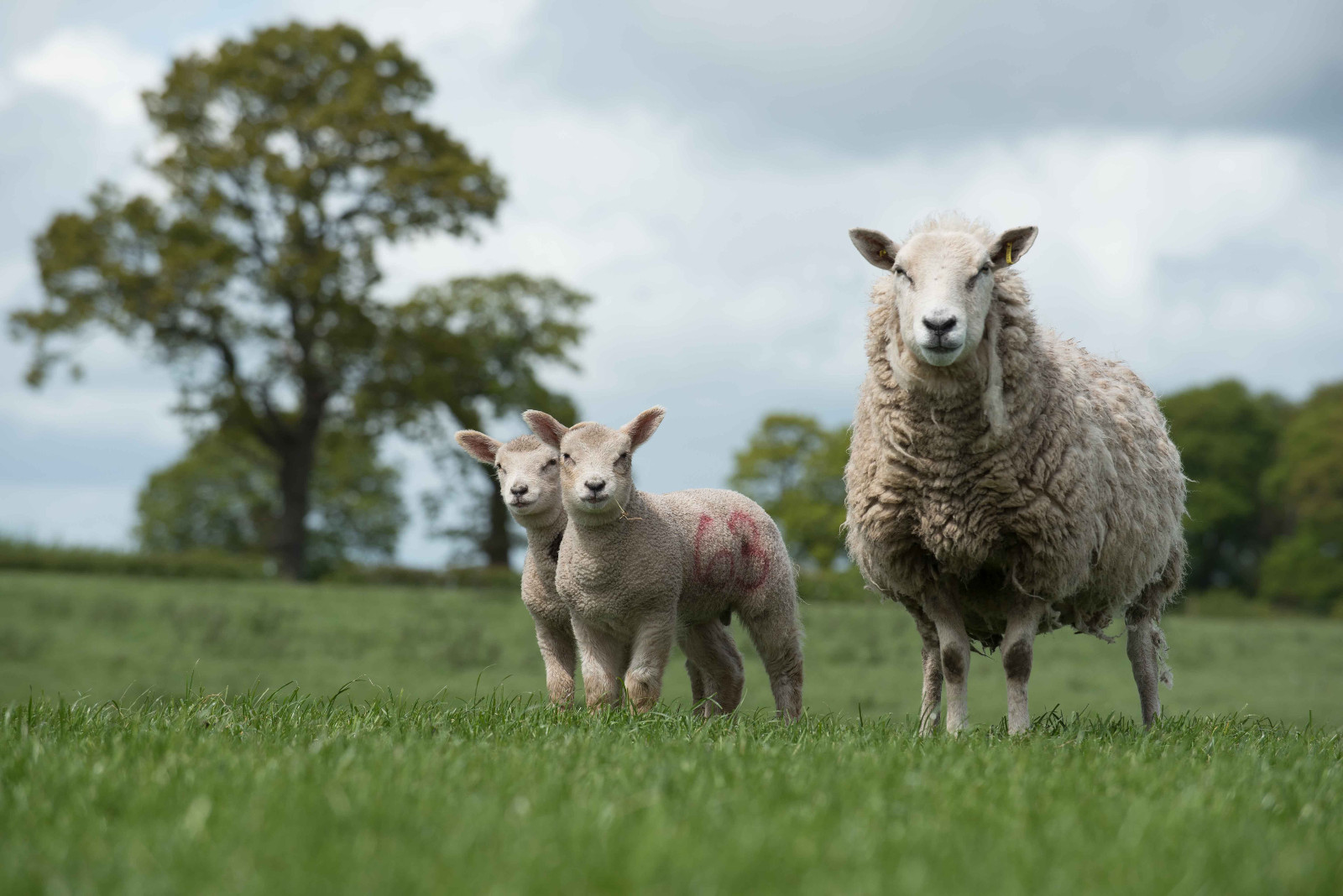Quality pays when creep feeding lambs